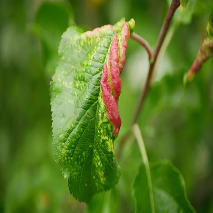 Damage to aphids on the apple tree