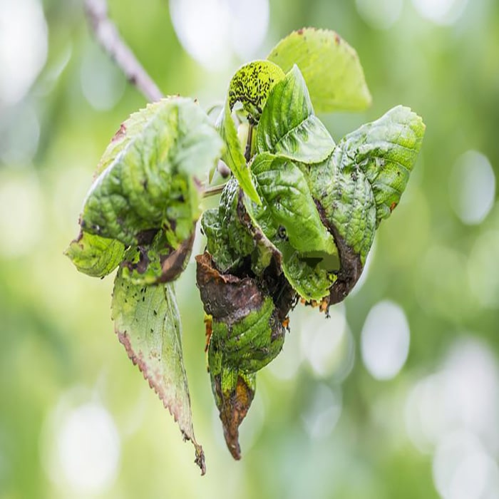 Damage to aphids on the cherry tree