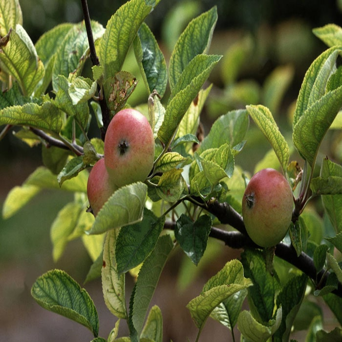Iron deficiency in apples