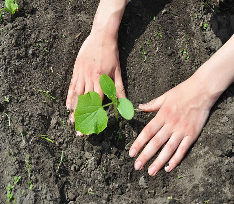 Planting the foot of the plant 1- the fourth stage
