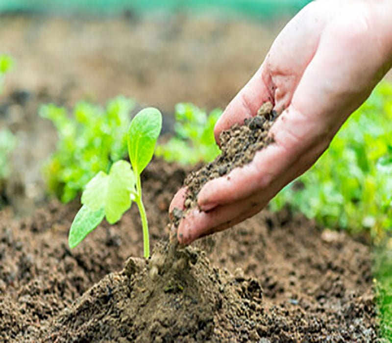 Planting the foot of the plant - the third stage